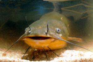 sum-ryba-jesc-czy-nie-jesc